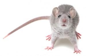 New York City Rat